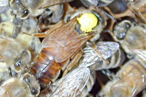 Queen (The yellow dot on the thorax was added by a beekeeper to aid in finding the queen. She was probably born in  or ; see the Queen article for an explanation of the color)