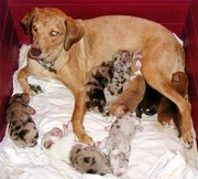nursing litter of puppies
