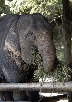 Elephant eating, Chaing Mai, Thailand. Image provided by Classroom Clip Art (http://classroomclipart.com)
