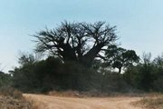 Baobab tree in South-Africa