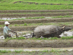 Farming, ploughing rice paddy, in
