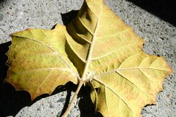Palmate-veined leaf